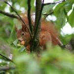 Eichhörnchen mit Kirsche im Mund