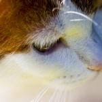 Gesicht einer weiß orangefarbenen Katze