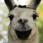 Schwarz weißes Lama schaut direkt in die Kamera