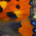 Schmetterlingsflügel Nahaufnahme