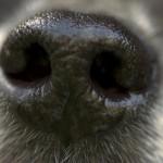 Hunde-Nase Nahaufnahme